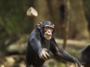 Унікальний відеозапис загадкового «ритуалу» шимпанзе